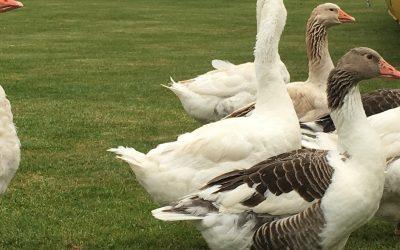 Geese Herding – The Elvetham